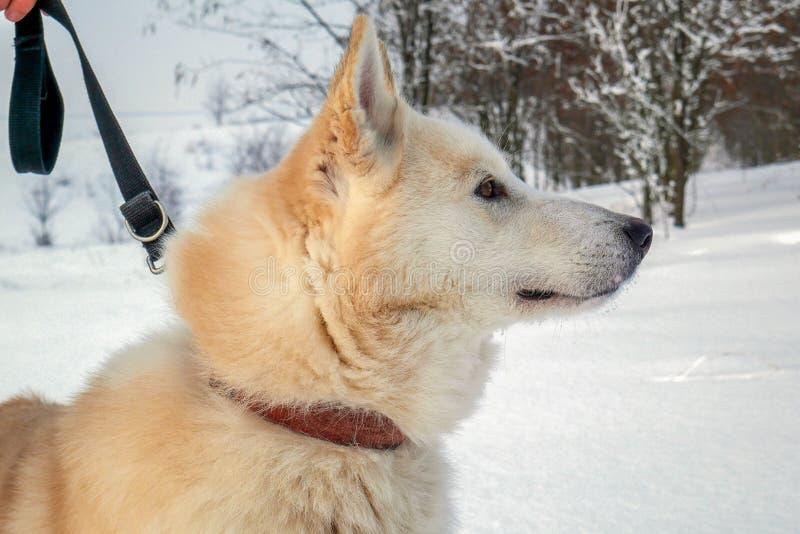 象关闭的西西伯利亚在狩猎 库存图片