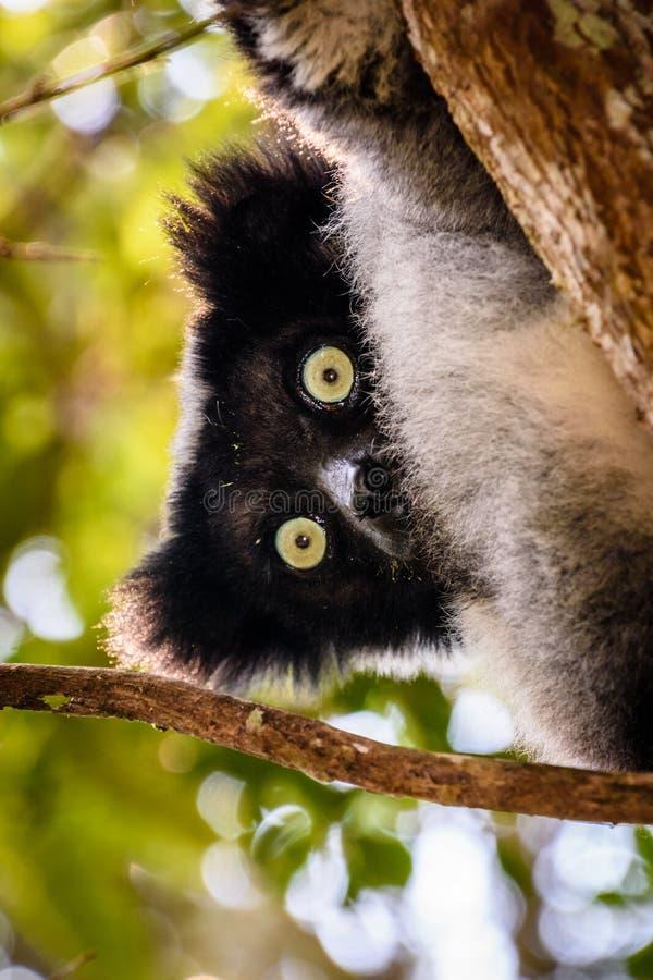 象危险的Indri狐猴的玩具熊在树在马达加斯加 库存照片