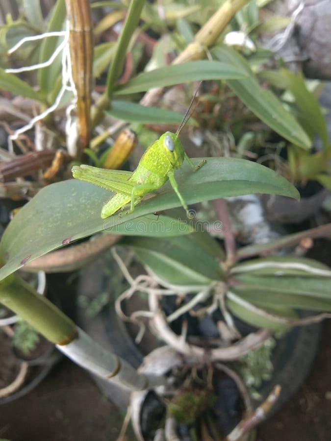 象叶子的绿色蚂蚱, 图库摄影