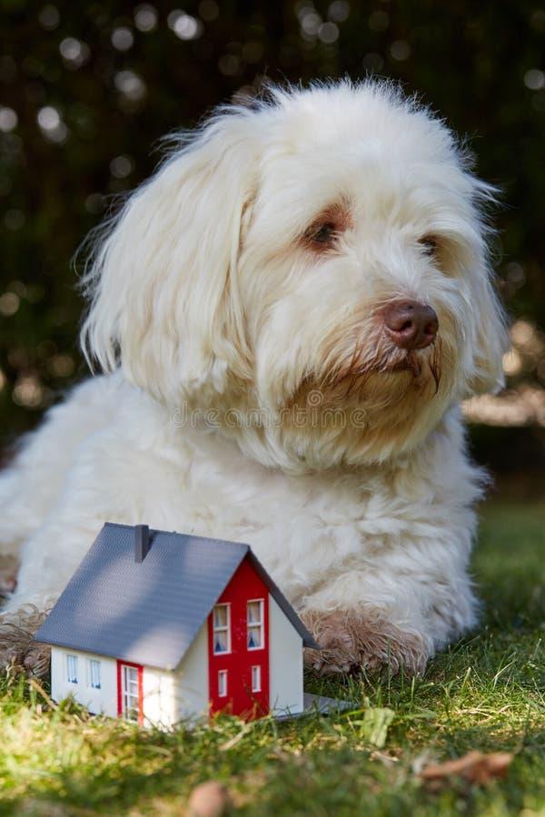 象征性地观看小雕象房子的Havanese狗 库存图片