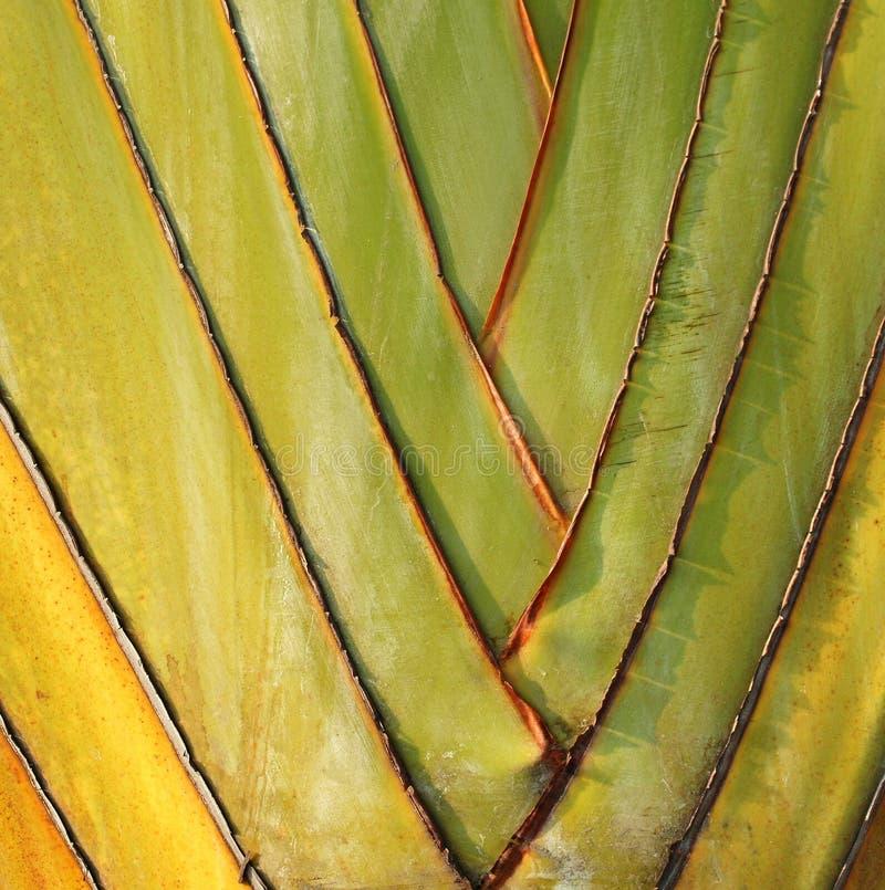 象旅客棕榈的叶子的爱好者 库存照片