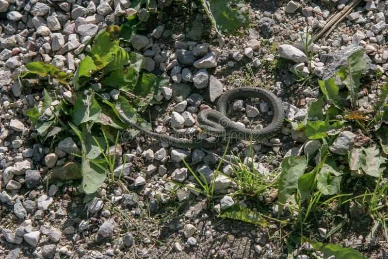 象春天的一条无毒性的蛇准备从在地面上的岩石跳跃 库存照片