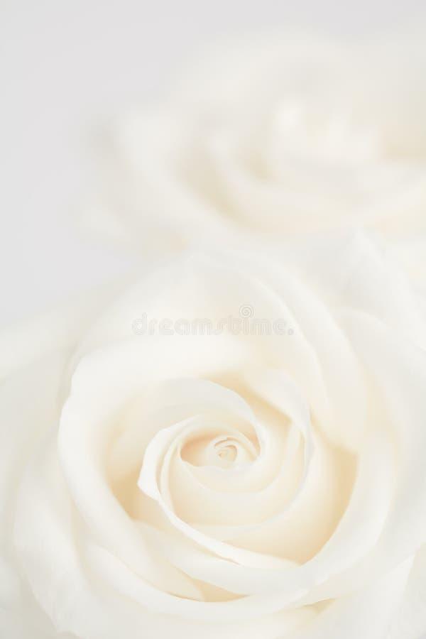 象牙玫瑰关闭  免版税库存照片