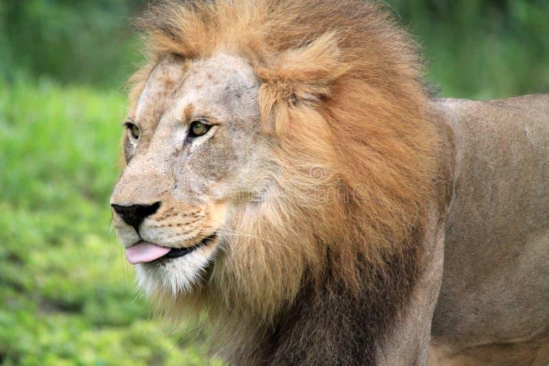画象狮子舌头 免版税库存图片