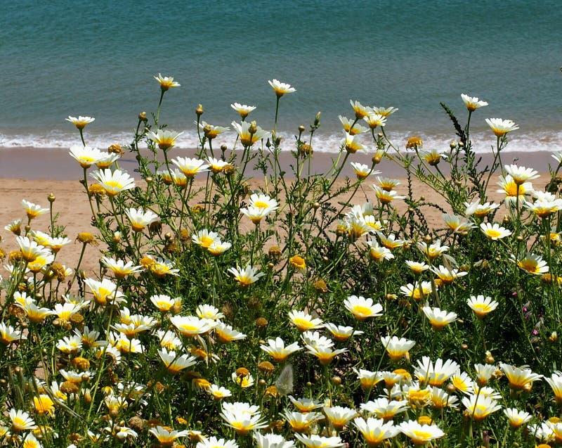 象花卉生长的雏菊在海滩旁边在拉各斯葡萄牙 库存照片