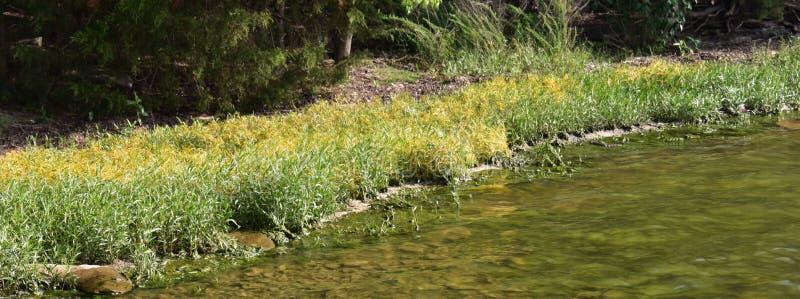 象草的岸遇见水在小海湾在佩尔西Priest湖 免版税库存图片