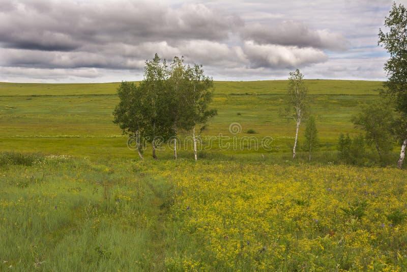 象草的草甸夏天风景  库存图片