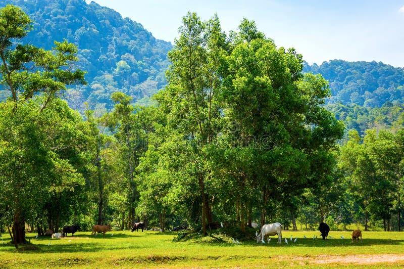 象草的领域和凹线看法与吃草的母牛 库存照片
