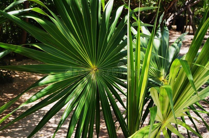 象轮转焰火,这健康矮小的矮棕榈条叶子四面八方扇动 - 墨西哥 免版税库存图片