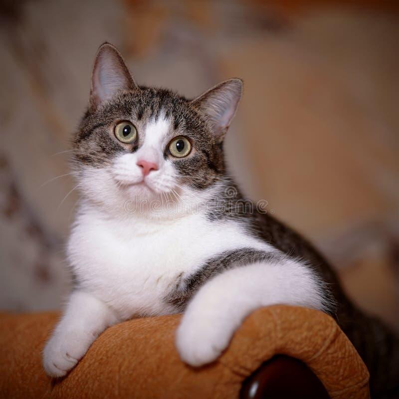 画象镶边与白色在沙发的一只猫 免版税库存照片