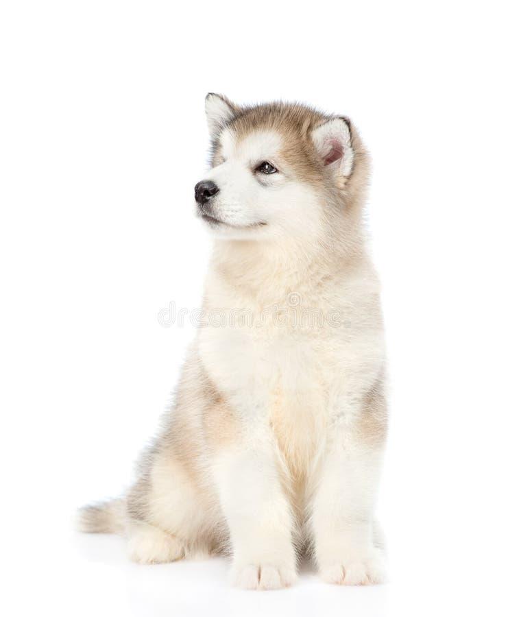 画象阿拉斯加的爱斯基摩狗小狗 背景查出的白色 免版税库存图片