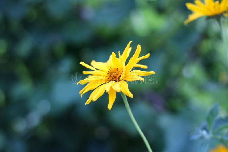 象雏菊的黄色花在绿色被弄脏的背景 多榔菊属植物开花植物的关闭 免版税库存照片