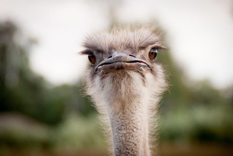 画象滑稽的驼鸟2 库存照片