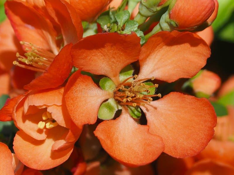 豪华和明亮的橙色花关闭  库存照片