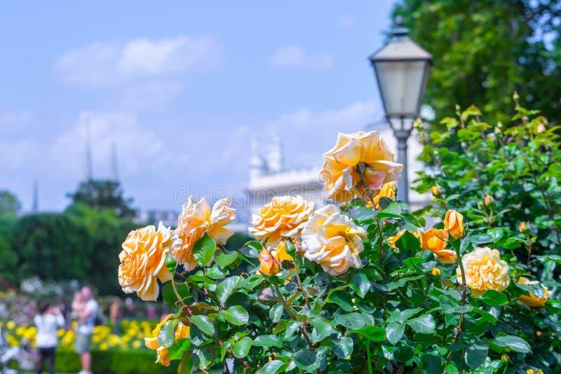 豪华的开花的橙色玫瑰在玫瑰园里 Volksgarten(;people';s park);在维也纳,奥地利 免版税库存照片
