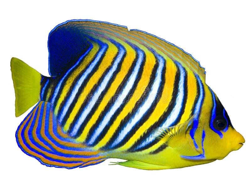 豪华的神仙鱼 免版税库存照片