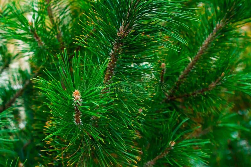 豪华的绿色分支conica云杉长期needles青绿色针背景水多的明亮的装饰装饰设计 免版税库存照片