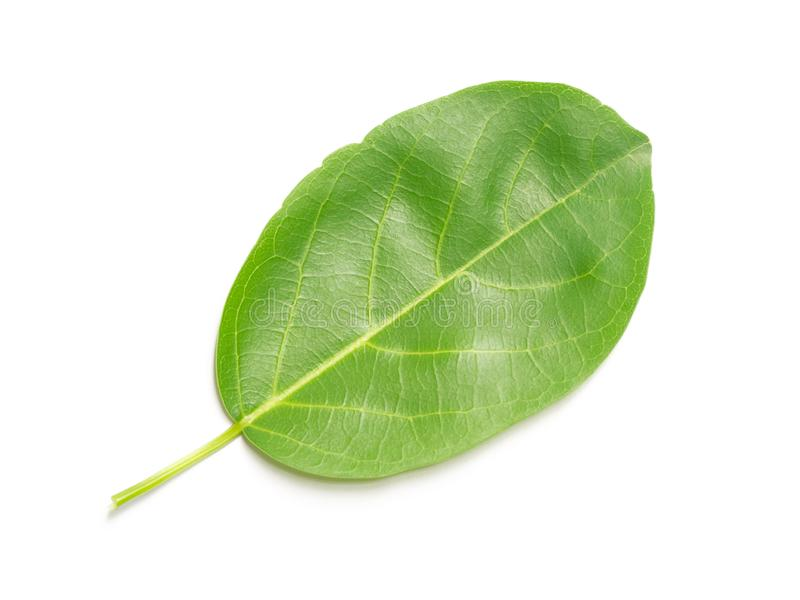 豪华的绿色叶子自然叶子在白色背景离开被隔绝 免版税库存照片