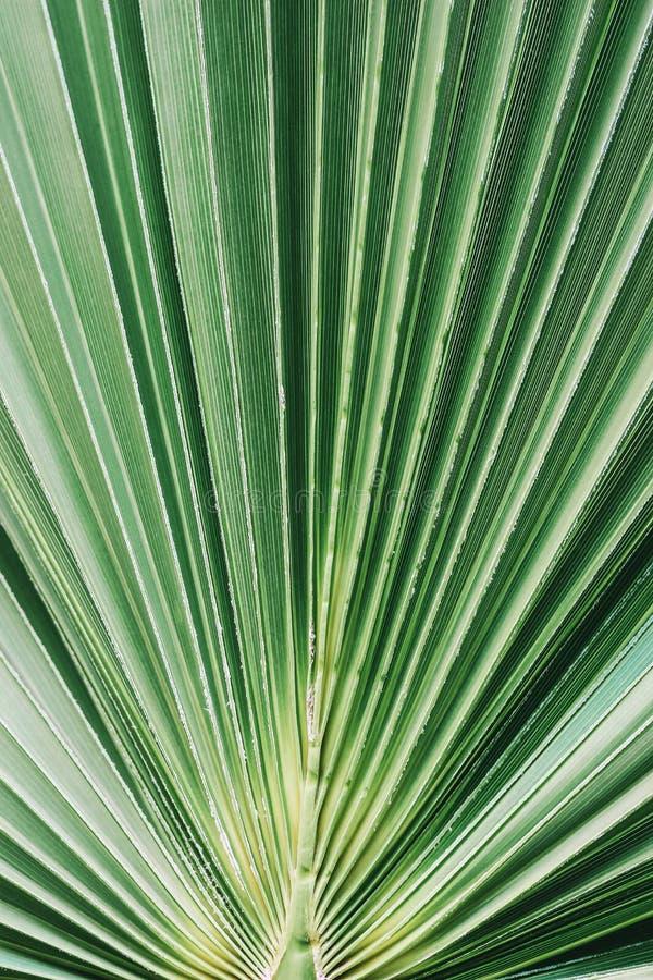 豪华的绿色棕榈叶特写镜头  热带密林叶子 自然镶边纹理,样式背景 扇形棕榈 免版税图库摄影