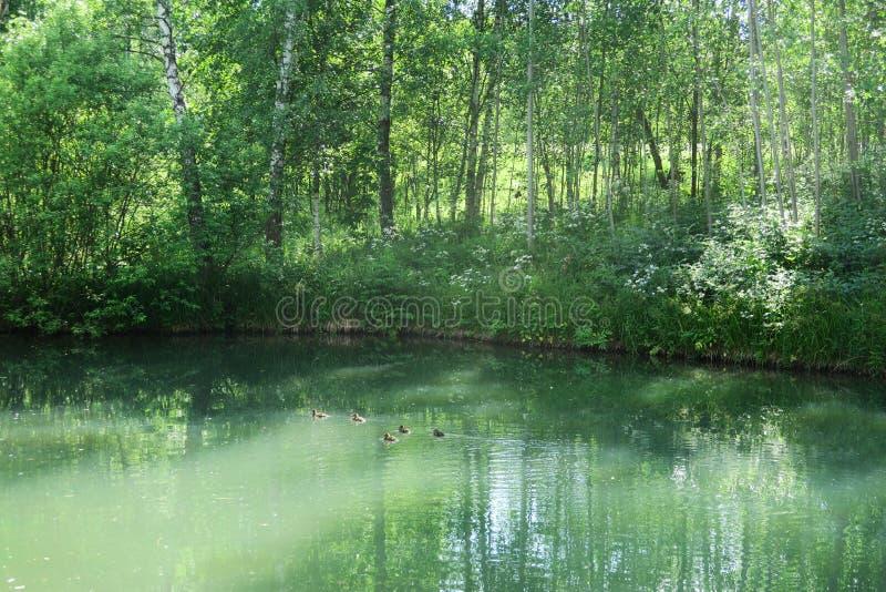 豪华的绿色森林地公园构筑的平静的森林池塘在阳光下 ?????????????? 库存图片
