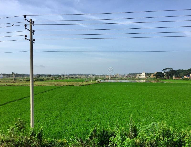 豪华的绿色稻田在Davengere的郊区 免版税图库摄影