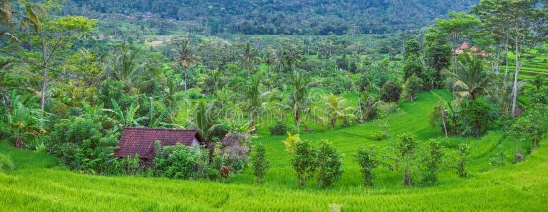 豪华的绿色米tarrace和一个小屋在伴奏者,巴厘岛,印度尼西亚 免版税库存照片