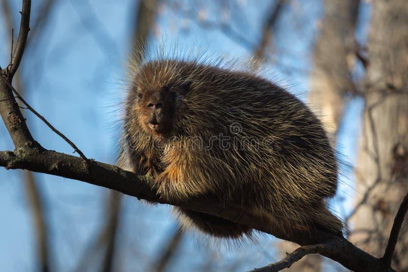 豪猪在勘测入侵者的树上面坐了高 库存照片