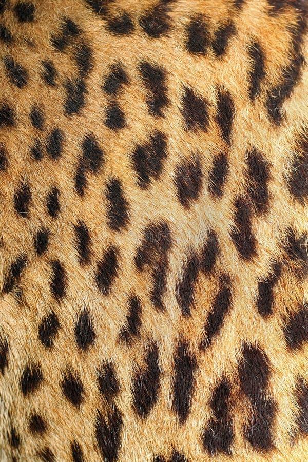 豹子五颜六色的毛皮真正的纹理 免版税库存图片