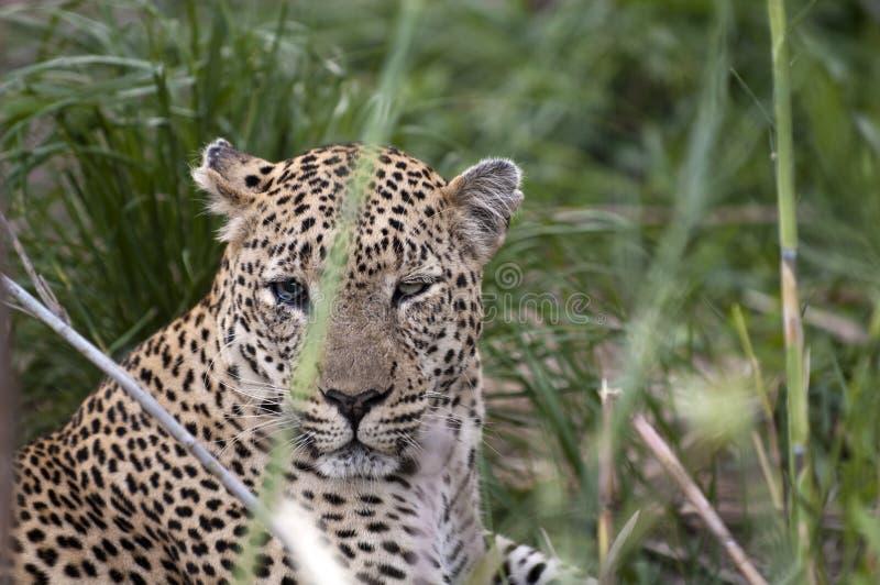 豹子休息 免版税库存图片