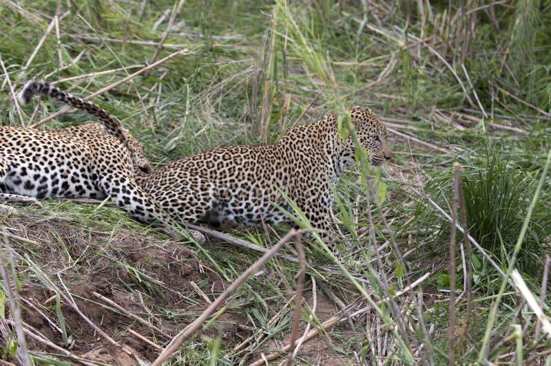 豹子休息 库存图片