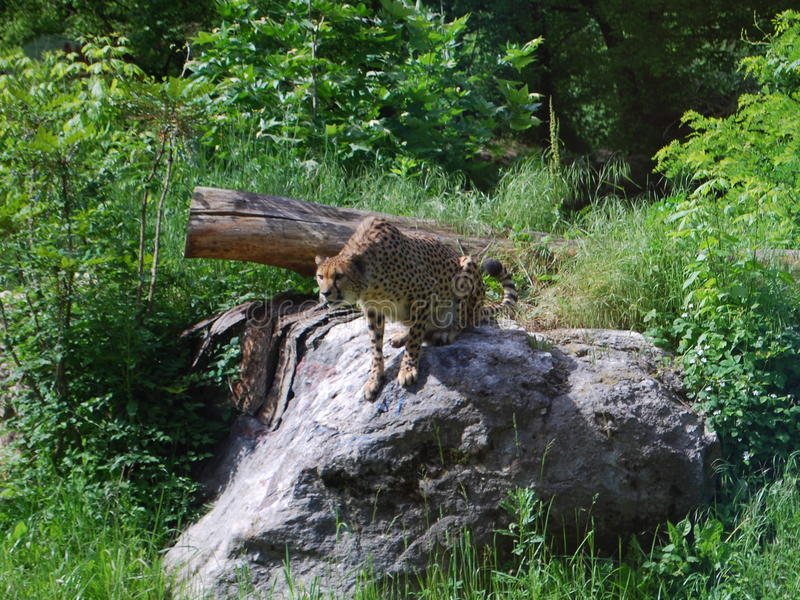 豹子偷偷靠近 免版税库存照片