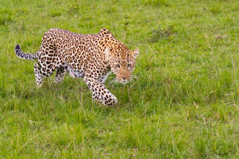 豹子偷偷靠近 图库摄影