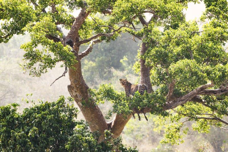 豹子和杀害在树 免版税库存照片