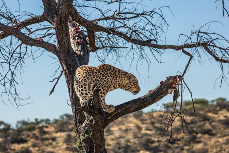 豹子哺养 库存照片