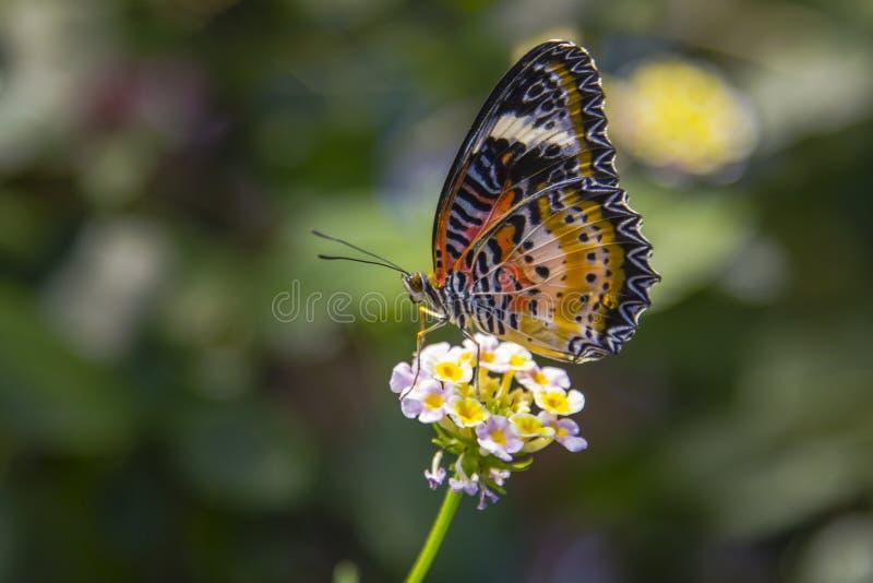 豹子哺养在马樱丹属的草蜻蛉蝴蝶 库存图片