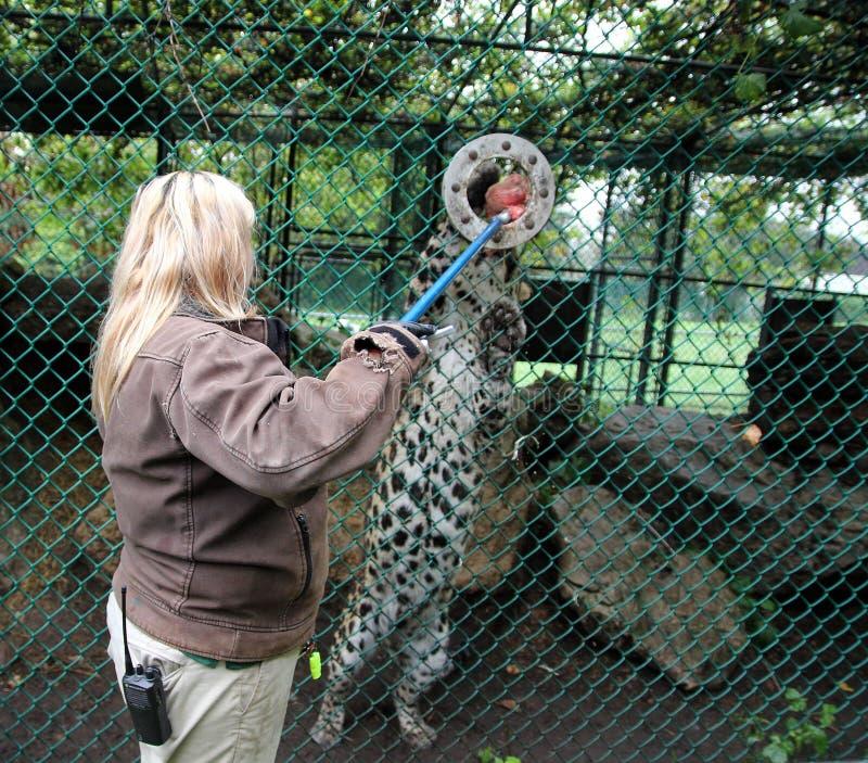 豹子哺养 免版税库存图片