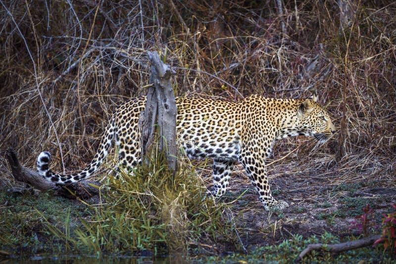 豹子在克鲁格国家公园,南非 库存图片