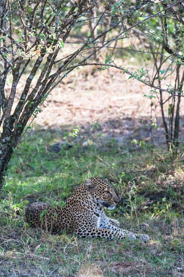 豹子在树树荫下休息  肯尼亚mara马塞语 免版税库存照片