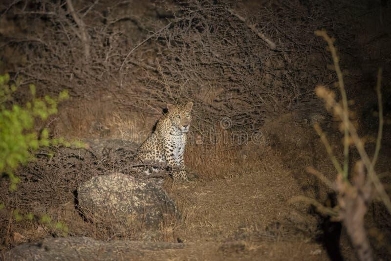 豹子在泛光灯的晚上在贝拉,拉贾斯坦,印度 库存图片