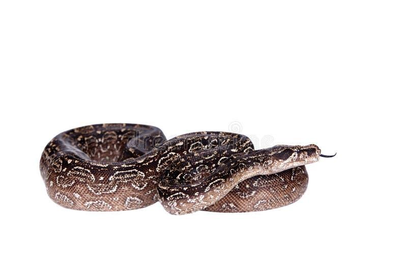 豹子在白色背景的阿根廷蟒蛇 库存照片