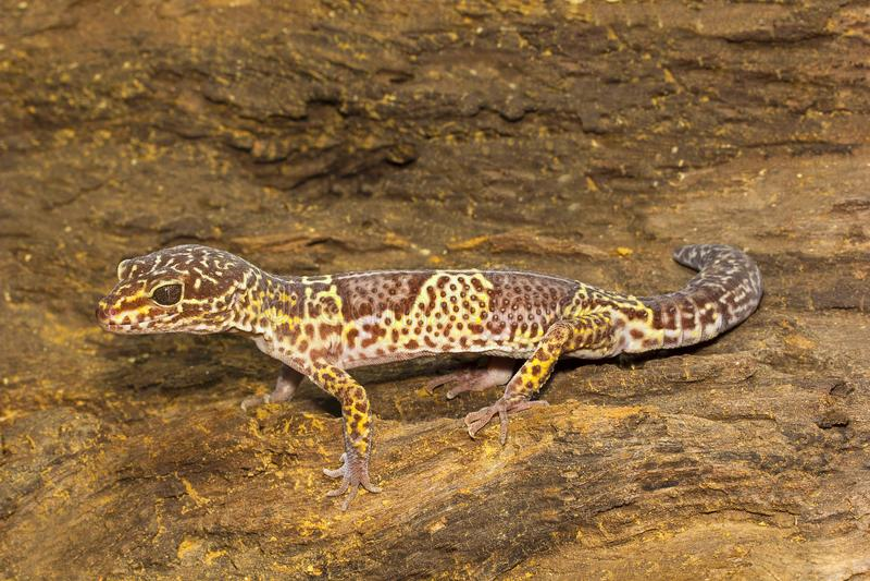 豹子壁虎, Eublepharis satpuraensis, Eublepharidae,中央邦,印度 库存照片
