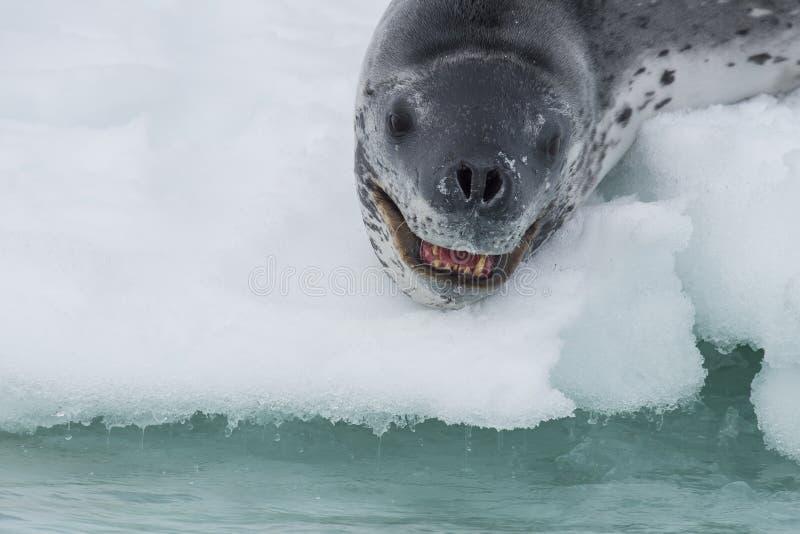豹子封印的顶头射击在冰的 免版税库存图片