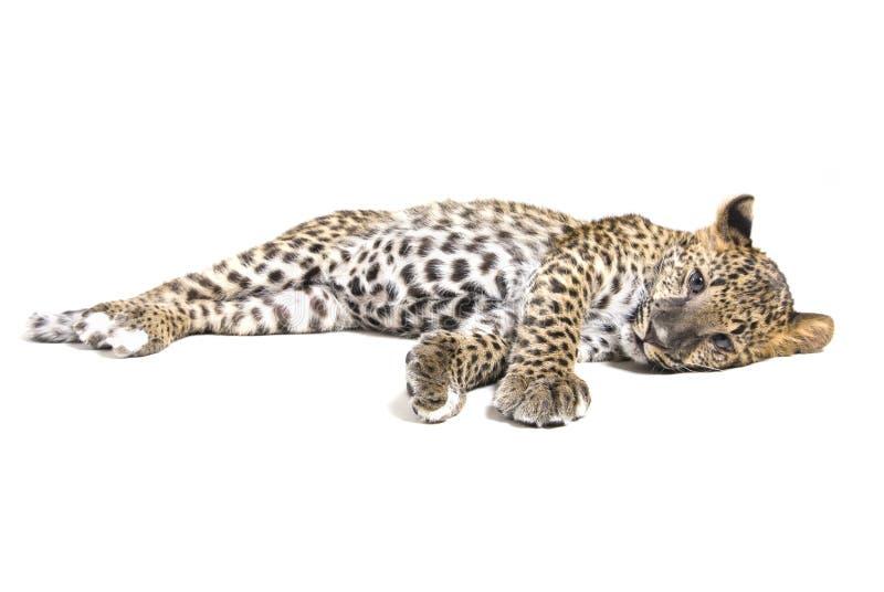 豹子小的白色 免版税库存照片