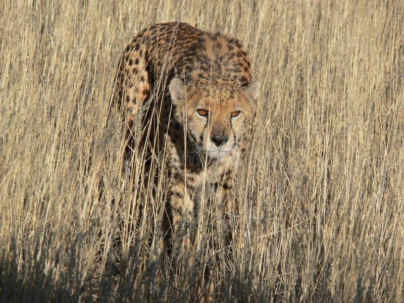 豹子狩猎 免版税库存图片