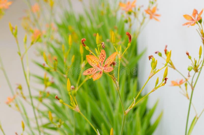 豹子百合一点花有一种绿色背景和美好的橙色颜色 库存图片