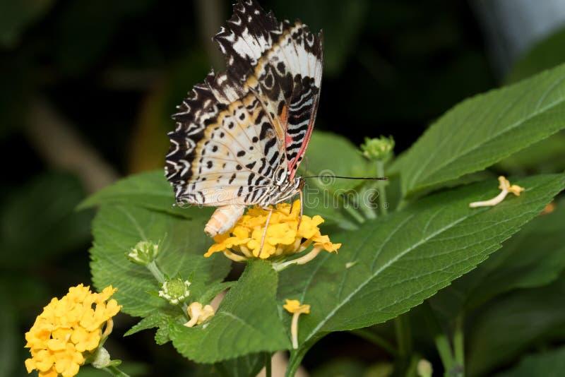 豹子网的侧视图在关闭蹒跚而行与闭合的翼坐黄色开花 库存图片