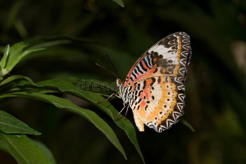 豹子网的侧视图蹒跚而行与闭合的翼坐一片绿色叶子 库存照片