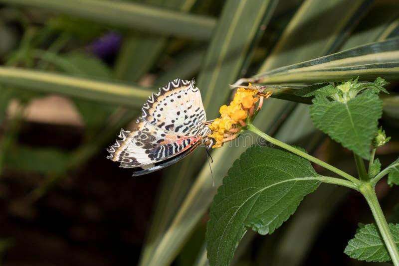 豹子网的正面图在关闭蹒跚而行与闭合的翼坐黄色开花 图库摄影