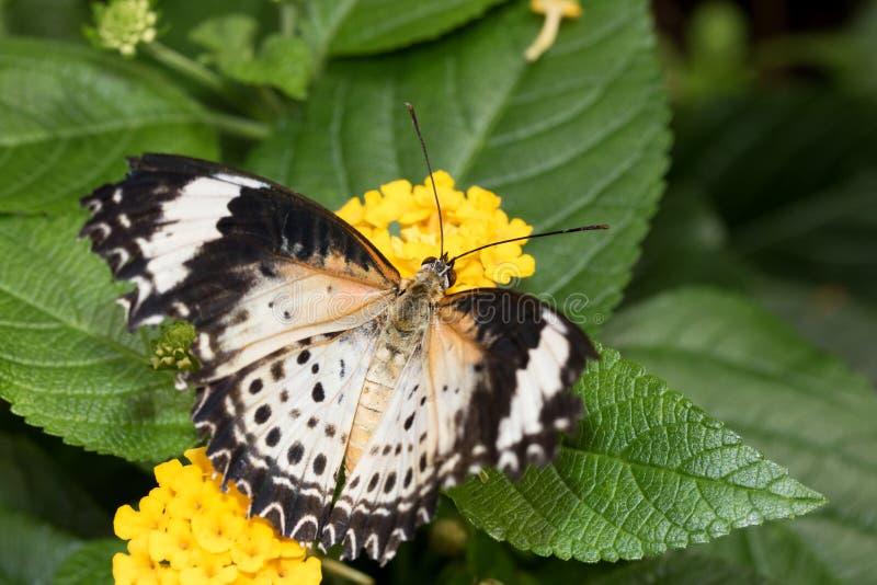 豹子网的顶视图蹒跚而行坐有大开翼的黄色开花 图库摄影