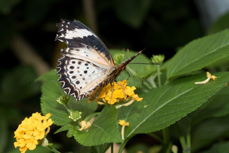 豹子网的顶面和侧视图在关闭蹒跚而行与一半开放翼坐黄色开花 库存图片